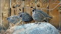 Quail Family in the Spring (2)
