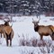 three elks grazing in the winter forest by Lake Minnewanka at Ba: OLYMPUS DIGITAL CAMERA