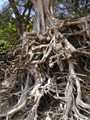 Kauai Hawaii Beach - Tree Roots