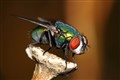 A posing fly
