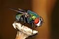 A posing fly