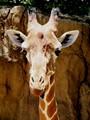 Giraffe  FtW Zoo