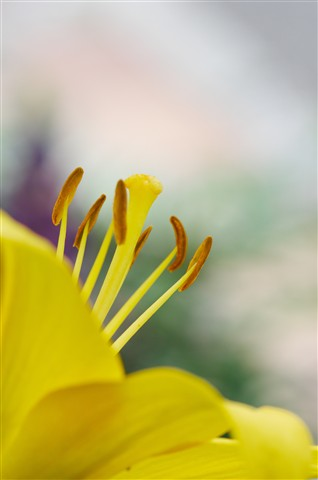 Yellow Lily Stamens