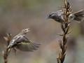 Pine Siskin & Song Sparrow