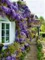 A Wisteria Welcome