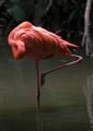 flamingos_dpr