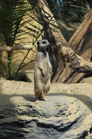 Meerkat at Vienna Zoo