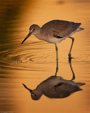Willet on gold