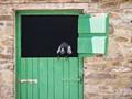 The Barn Door and goat