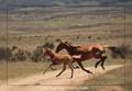 Galloping brumbies