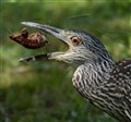 Night Heron vs Crawfish