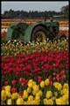 Tulips & Tractor 2