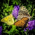 Butterfly Contact