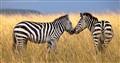 Zebras eloping