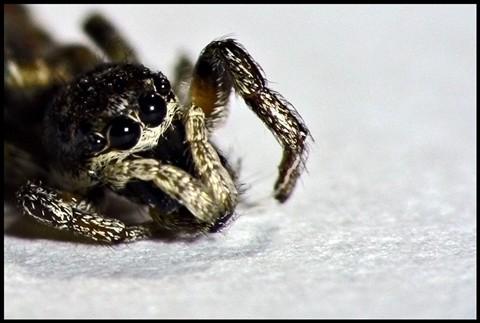 Zebra Spider Heather June 2011