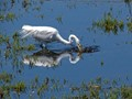 Great Egret gets his lunch