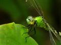 Green Dragonflies.  DSC03857