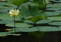 EC_WaterLily
