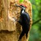 PILEATED-_4270025