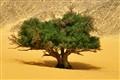 Tree - Egypt