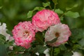 _Vivid Pink Roses