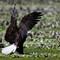 Eagle Eating 1