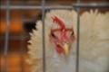 fluffy the chicken