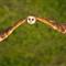 DGB_7717r_Barn Owl