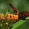 Gulf Frittilary Butterfly