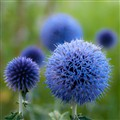 Blue Thistles