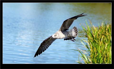 Seagull_BIF