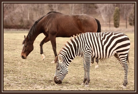 zebra and friend