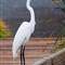 American egret  _MG_3885