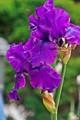 Dark Purple  Dutch Lily