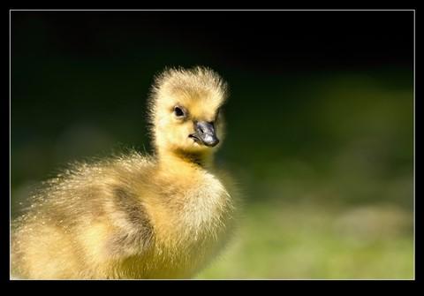 Canada_gosling