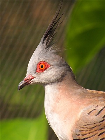 Crested Pigeon_3016
