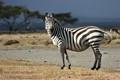 Zebra, Naivasha lake Crescent Island, Kenya