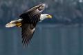 saturday eagle in flight