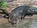 angry croc-