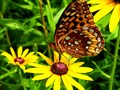 Greater Fritillaries,  DSC00130