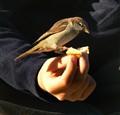 Tame sparrow