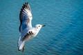 Seagull Enjoying the Flight