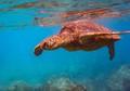 Hawaiian Sea Turtle off Maui