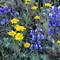 TE03672-94: SR49 serpentine wildflowers. shaghair lupine, lupinus spectablis big headed yellow chaenactis, chaenactis glabriuscula var. megacephala pink spineflower, chorizanthe membranacea