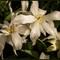 White Keukenhof Exotic Tulips