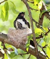 Willie Wagtail and chick