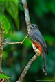 Trogon on a Perch