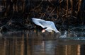 Caspian Tern catches its evening meal