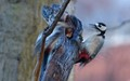 Great spotted woodpecker fight
