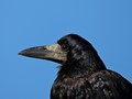 Portrait of an Old Crow
